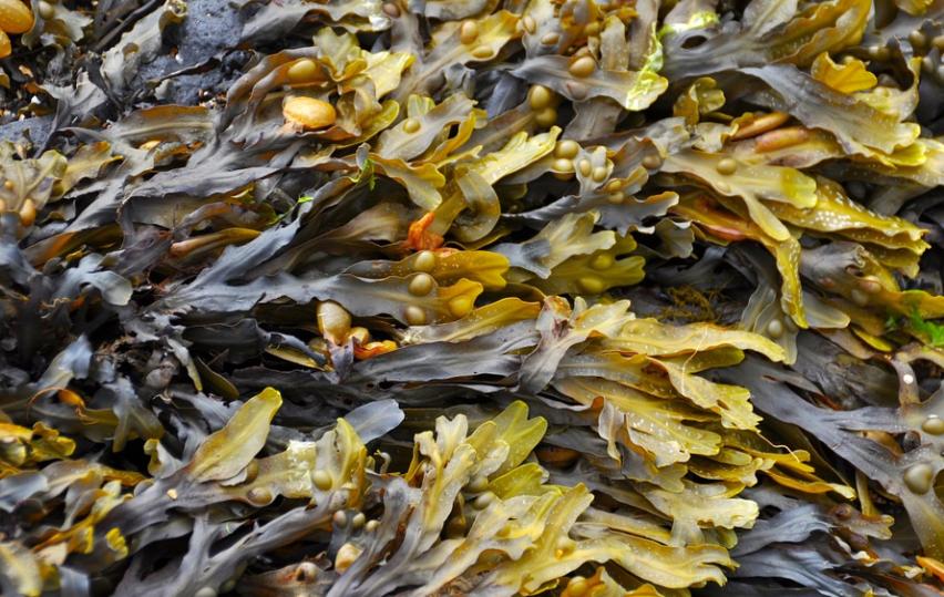 Algas de arribazón