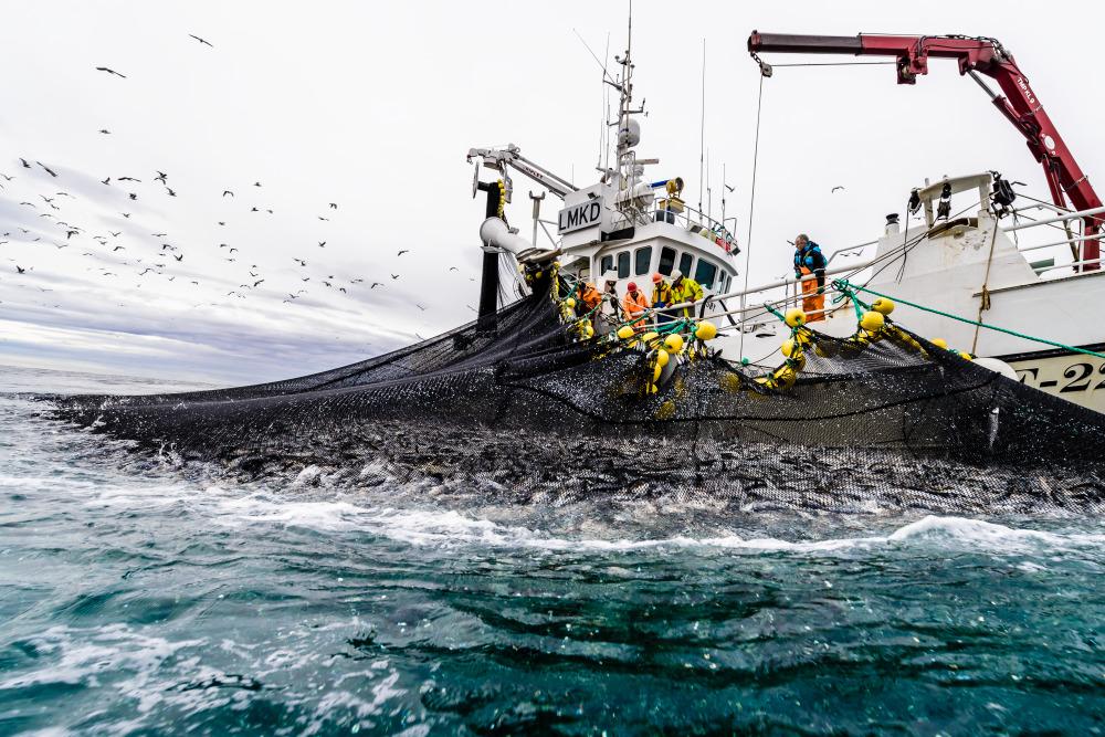 Pesquería de arenque en Noruega.