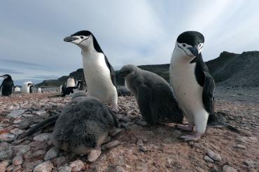 Pingüinos protegiendo a sus crías en la Antártida.